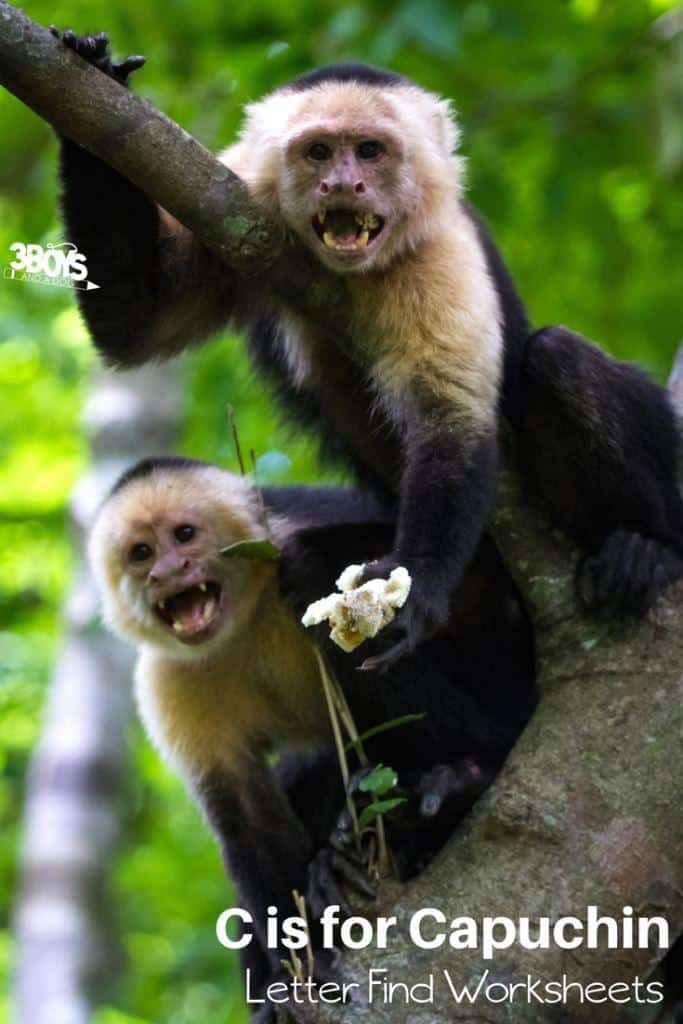 c is for capuchin letter find worksheets