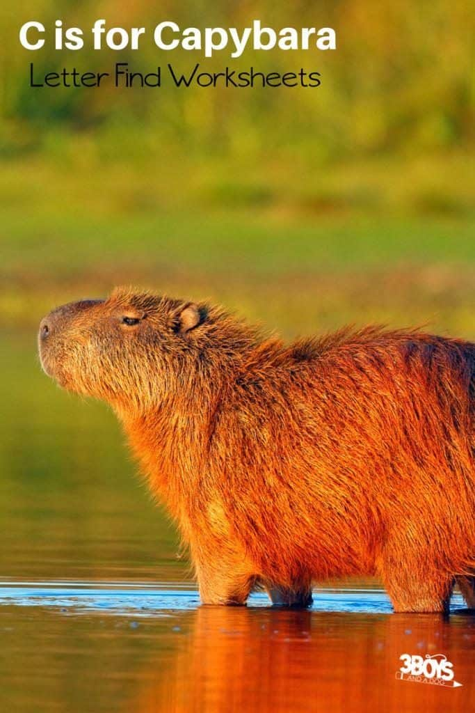 c is for capybara letter find worksheets