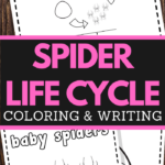 preschoolers spider life cycle coloring and handwriting worksheets
